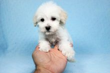 Perfect Maltipoo Puppies available