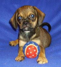 Puggle Pups ready now 4 puggle lovers