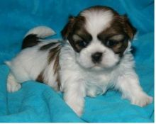 Shih Tzu pups for new homes .