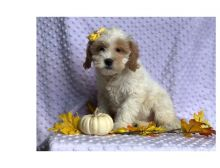 Cute male and female Cavapoo Puppies available.