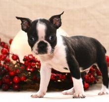 🎄🎄 ☮ Male 🐕 Female 🎄 ☮ Boston Terrier Puppies 🏠💕Delivery is possible