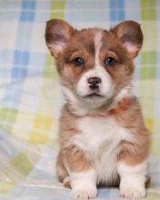 🎄 ☮ M/F Pembroke Welsh Corgi Puppies 🏠💕Delivery is possible🌎✈️