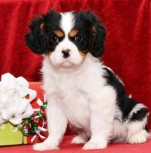 🎄🎄 CHRISTMAS 🎄 Cavalier King Charles Spaniel Puppies 🏠💕 Delivery is possible 🌎✈�