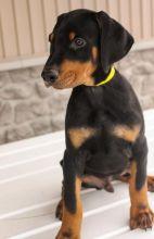 🎄🎄 CKC 🎄 Doberman Pinscher Puppies 🏠💕 Delivery is possible 🌎✈️