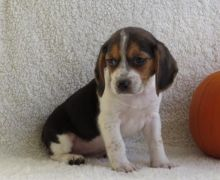☮ Male 🐕 Female 🎄 ☮ Beagle Puppies 🏠💕Delivery is possible🌎✈�