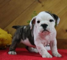 ☮ Male 🐕 Female 🎄 English Bulldog Puppies 🏠💕Delivery is possible�
