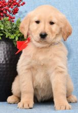 ☮ Male 🐕 Female 🎄 Golden Retrievers Puppies 🏠💕Delivery is possible�