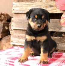 ☮ Male 🐕 Female 🎄 ☮ Rottweiler Puppies 🏠💕Delivery is possible🌎