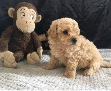 🎄🎄 CKC 🎄 Maltipoo puppies 🏠💕Delivery is possible🌎✈️