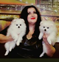 ☮ 🎄 Pomeranian Puppies For 🎄🎄 Ckc 🏠💕Delivery is possible🌎✈�
