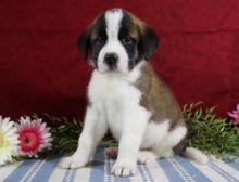 🎄🎄 CKC 🎄 Saint Bernard Puppies 🏠💕 Delivery is possible 🌎✈️