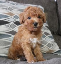 Hamilton Toy Poodle Dogs Puppies For Sale Classifieds At