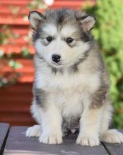 🎄🎄 CKC 🎄 Alaskan Malamute Puppies🏠💕Delivery is possible🌎✈️ Image eClassifieds4U