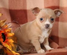 🎄🎄 CKC 🎄 Chihuahua Puppies .🏠💕Delivery is possible🌎✈️ Image eClassifieds4U