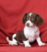 🎄🎄 CKC 🎄 Dachshund Pups 🏠💕 Delivery is possible 🌎✈️ Image eClassifieds4U