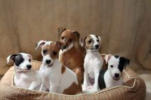 🎄🎄 CKC 🎄 Italian Greyhound Puppies 🏠💕 Delivery is possible 🌎✈️ Image eClassifieds4U