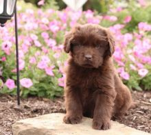🎄🎄 CKC 🎄 Newfoundland Puppies 🏠💕 Delivery is possible 🌎✈️ Image eClassifieds4U