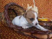 Beautiful males and female jack russell terrier puppies,