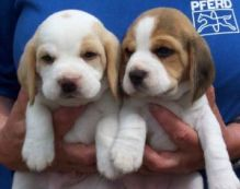 Tiny and Miniature Beagle Puppies ready now