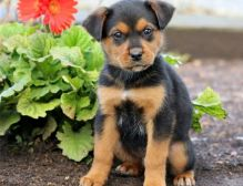 Beautiful male and female Rottweiler puppies.