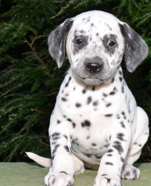 🎄🎄 CKC ☮ Male 🐕 Female 🎄 Dalmatian Puppies 🏠💕Delivery is possible🌎✈� Image eClassifieds4u