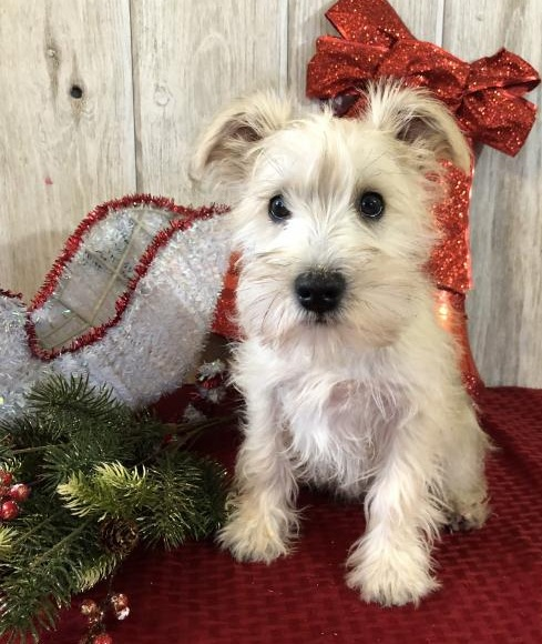 🎄🎄 CKC ☮ Male 🐕 Female 🎄 Miniature Schnauzer Puppies 🏠💕Delivery is possibl Image eClassifieds4u
