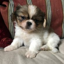 🎄🎄 CKC ☮ Male 🐕 Female 🎄 Pekingese Puppies ✿✿🏠💕Delivery is possible�