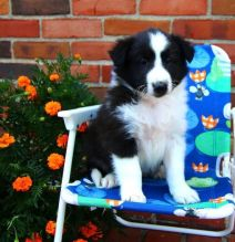 🎄🎄 CKC ☮ Male 🐕 Female 🎄 Sheltie Pups 🏠💕Delivery is possible🌎✈️