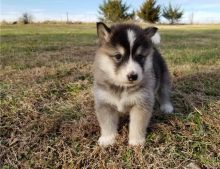 Sweet Alaskan Malamute puppies.