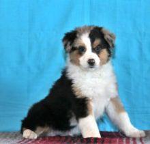 🎄🎄 CKC ☮ Male 🐕 Female 🎄 Australian Shepherd Puppies 🏠💕Delivery is possibl Image eClassifieds4U