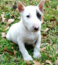 🎄🎄 CKC ☮ Male 🐕 Female 🎄 Bull Terrier Puppies 🏠💕Delivery is possible🌎� Image eClassifieds4U
