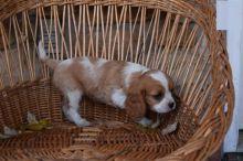 For Adoption: Cavalier King Charles Spaniel Puppies,Ckc Reg.