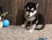 Gorgeous Alaskan Malamute Puppies