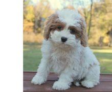 Super adorable Cavapoo puppies