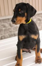 🎄🎄 CKC ☮ Male 🐕 Female 🎄 Doberman Pinscher Puppies 🏠💕Delivery is possible�