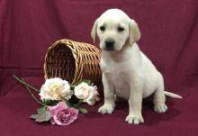 🎄🎄 CKC ☮ Male 🐕 Female 🎄 Labrador Retriever Puppies ✿ 🏠💕Delivery is poss