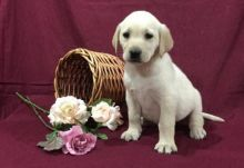 🎄🎄 CKC ☮ Male 🐕 Female 🎄 Labrador Retriever Puppies 🏠💕Delivery is possible