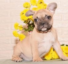 🎄🎄 CKC ☮ Male 🐕 Female 🎄 French Bulldog Pups✿🏠💕Delivery is possible🌎� Image eClassifieds4U