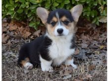 Healthy Home raised Pembroke Welsh Corgi puppies available.