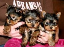 Xmas yorkie puppies for sale