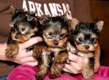 Xmas yorkie puppies for sale Image eClassifieds4U