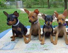 miniature doberman pinscher puppies ready now