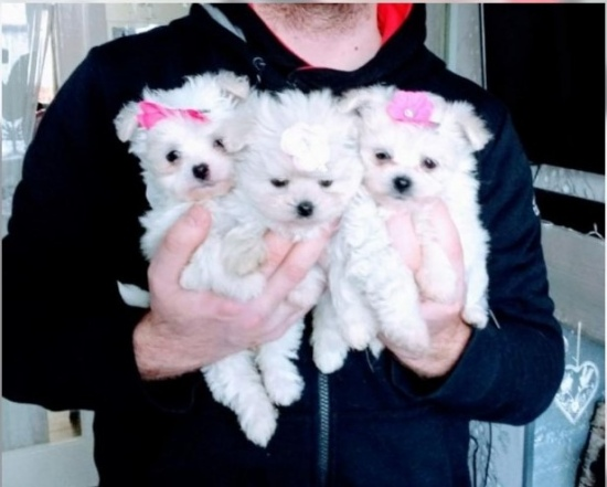 Healthy Teacup Maltese Puppies Available Image eClassifieds4u