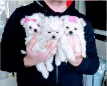 Healthy Teacup Maltese Puppies Available
