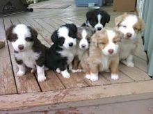 Australian Shepherd Puppies for Rehoming,