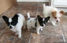 Cute Papillon puppies ready,