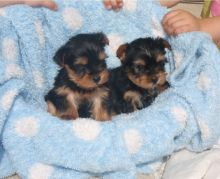 Teacup Yorkie Puppies Availabl
