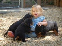 Adorable Rottweiler Pups Available. Image eClassifieds4U