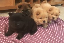 Cute Chow Chow Puppies Available, Image eClassifieds4U