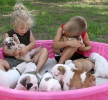Playful English Bulldog puppies for Rehoming Image eClassifieds4U